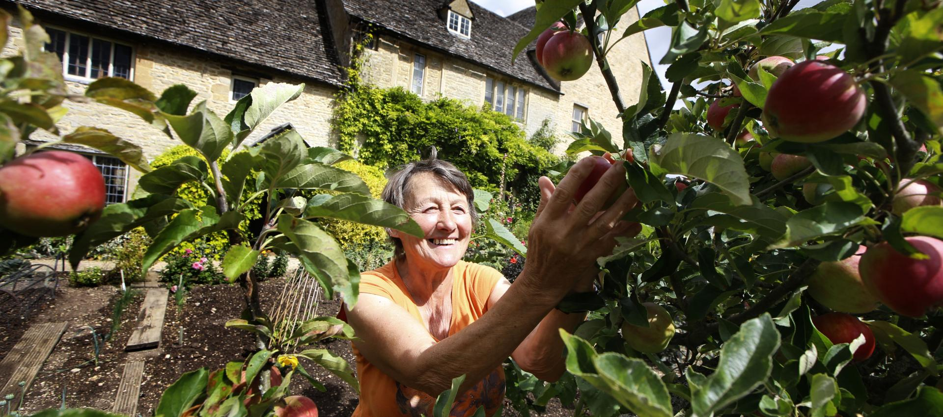 Volunteer with apples in walled garden